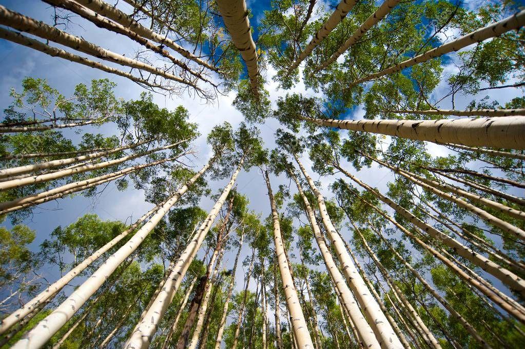 Aspen Trees from Below