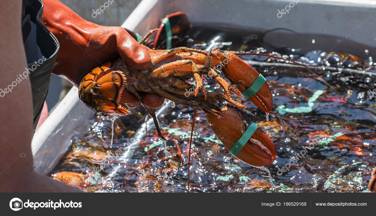 Fisheman holding a live lobster over a ...