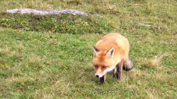 Hunting Fox in the Wilderness.