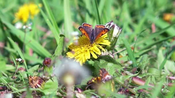 motýl sbírat nektar
