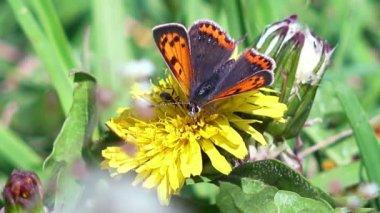 Close-Up Nézd pillangó