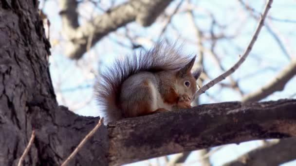 Aranyos mókus ül az ág