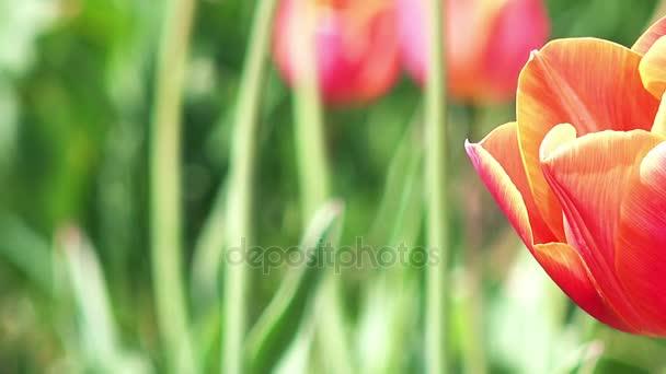Datailní pohled barevné tulipány