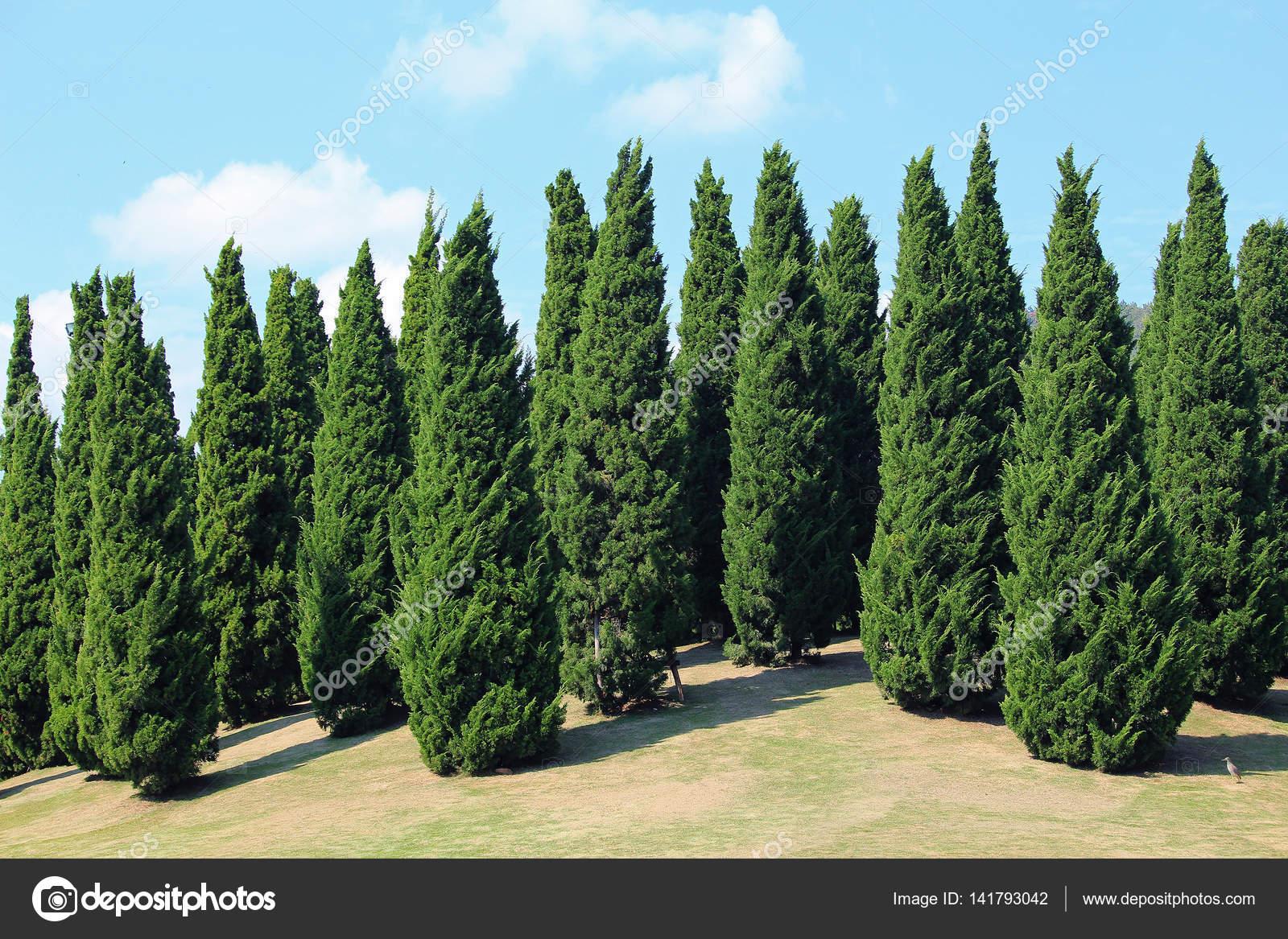 Pinos en el jard n royal flora foto de stock foto76 for Tipos de pinos para jardin fotos