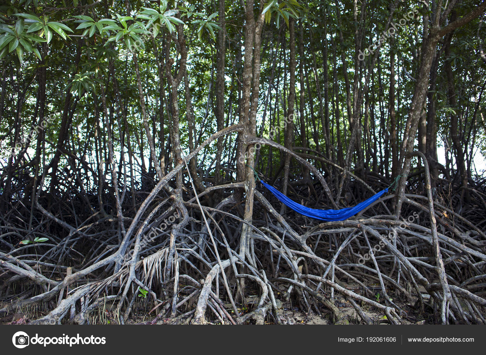 Blue Hammock Hanging On Tree In Mangrove Forest Stock Photo