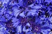 blue flowers cornflowers background