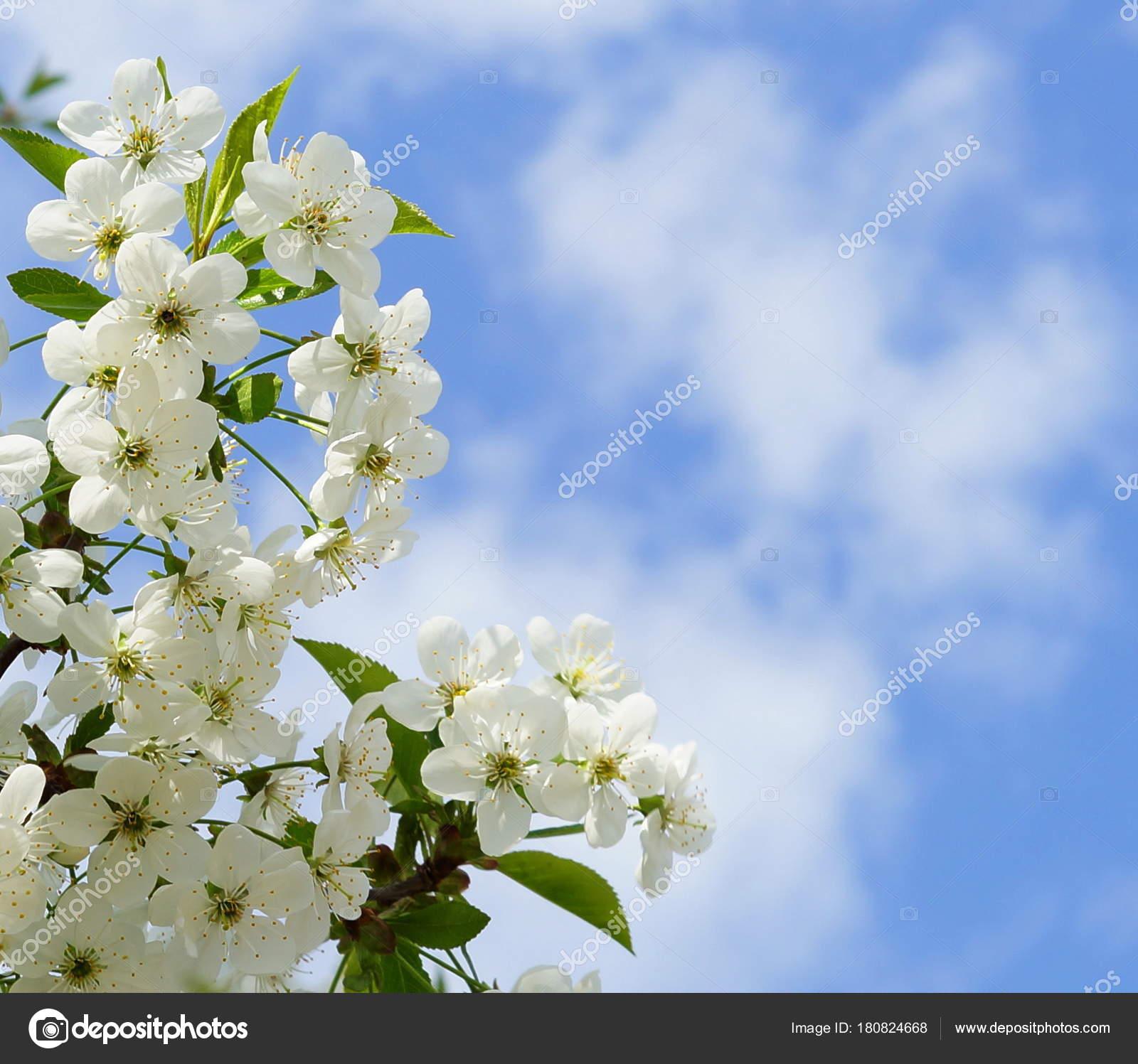 Fleur Cerisier Blanc Sur Fond Ciel Bleu Printemps Photographie Si