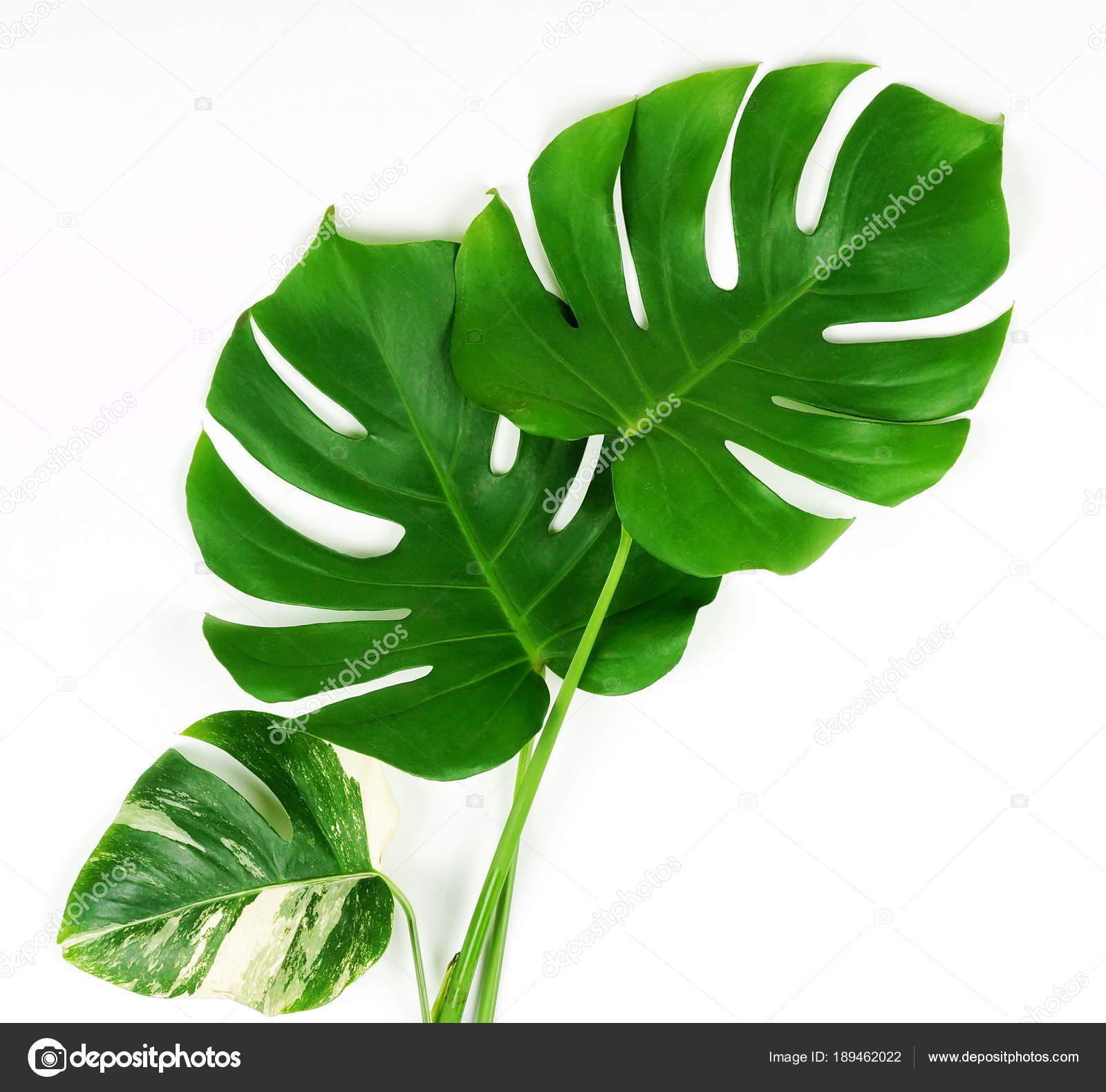 Tropical Leaves Monstera White Background Flat Lay Top View Stock Photo C Si 27star 189462022 Pngtree > free vectors > leaves decoration with tropical coconut background. tropical leaves monstera white background flat lay top view stock photo c si 27star 189462022
