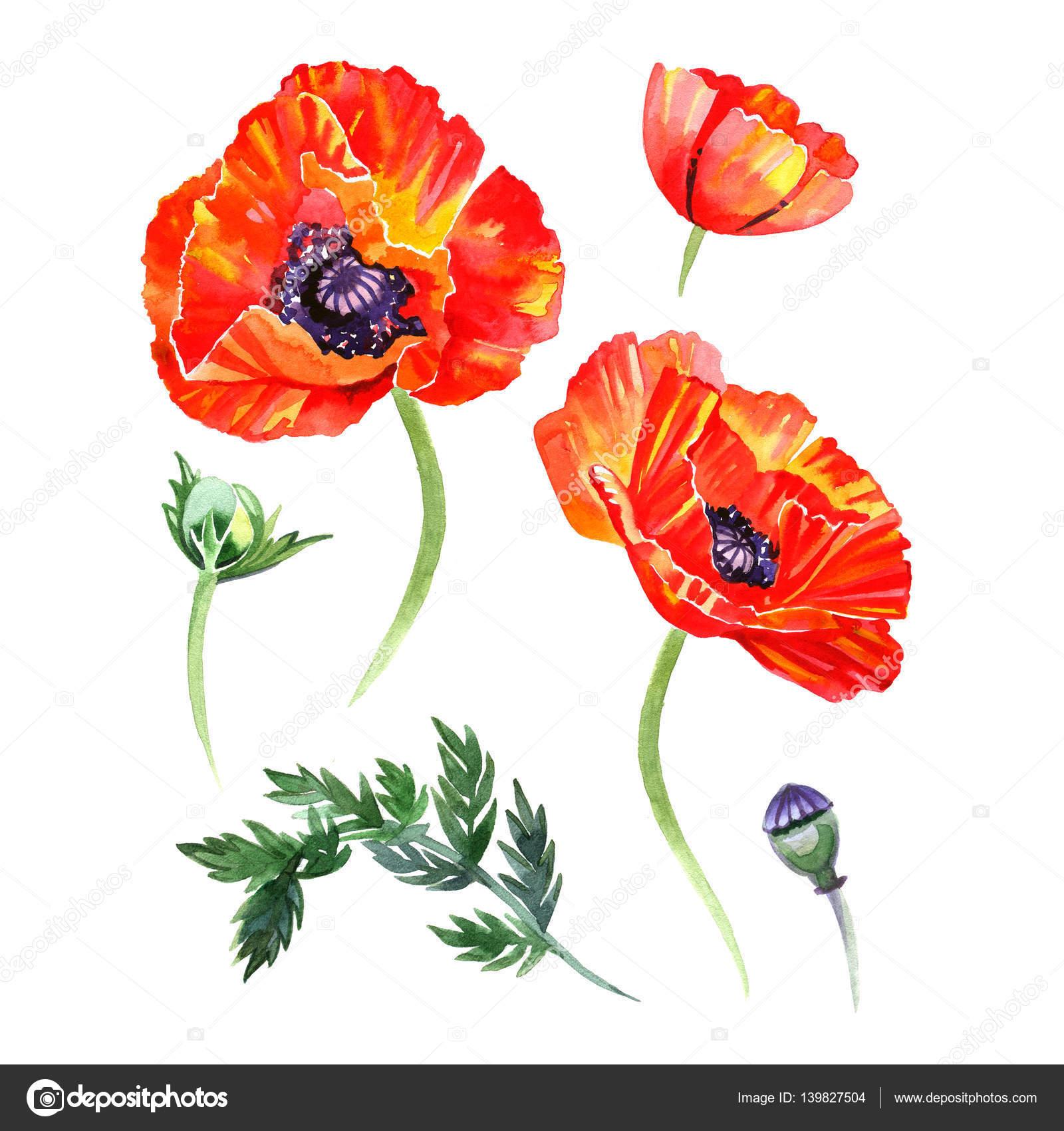 ポピーの花とつぼみのイラストの水彩セットです。描かれている