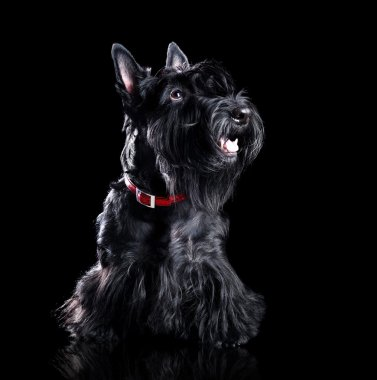 Low key portrait of a black scottish terrier isolated on black stock vector