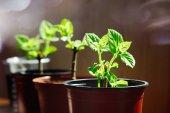 Fotografie Paulownia plants in a sunlight