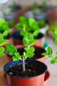 Fotografie nursery-garden with paulownia trees growing in pots