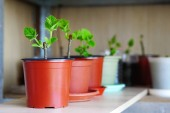 Fotografie Shelf of plant nursery with pots of paulownia trees
