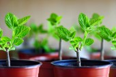 Fotografie Closeup picture of pots with paulownia trees on a  shelf  of  pl