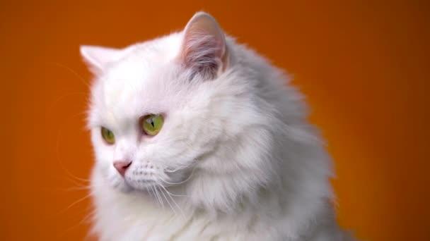 Portrét bílé chlupaté kočky. Studio barevné světlé záběry. Luxusní domácí koťátko pózuje na oranžovém pozadí.