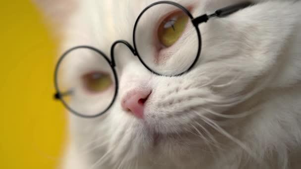 Aranyos háziállat kerek átlátszó szemüvegben. Szőrös macska sárga háttérrel a stúdióban. Állatok, oktatás, tudományos koncepció.