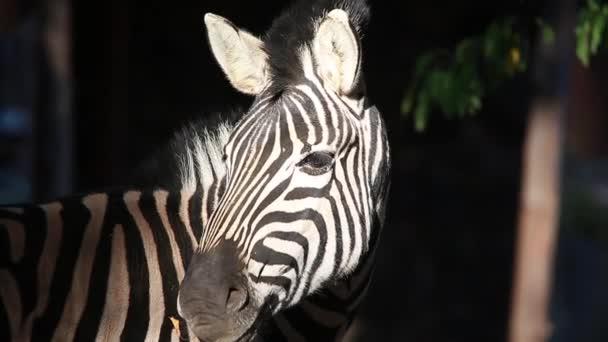 a zebra-portré