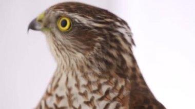 Free falcon videos