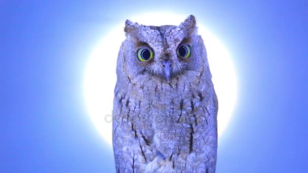 European scops owl on blue screen