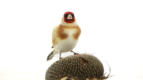 Goldfinch klovne slunečnicová zrna