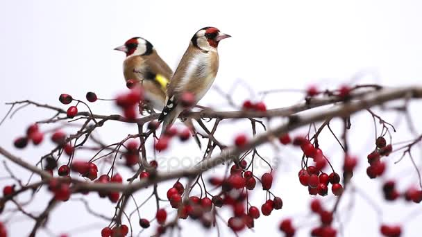 two goldfinches on a hawthorn branch