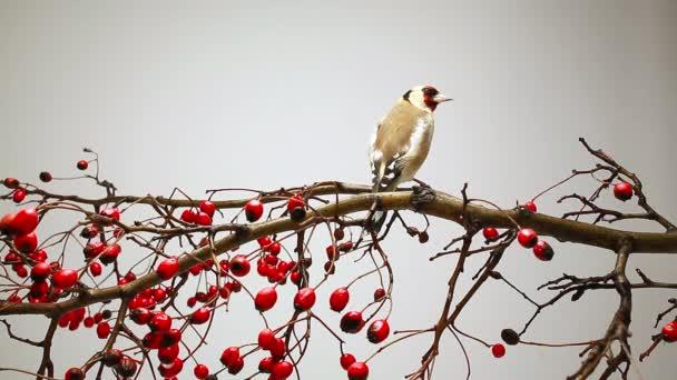 Goldfinch na větvi hlohu