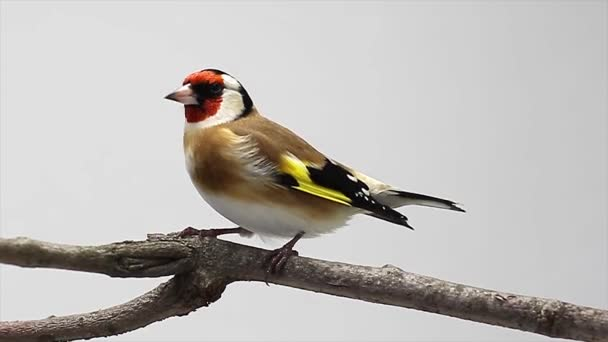 goldfinch on a tree branch the white screen