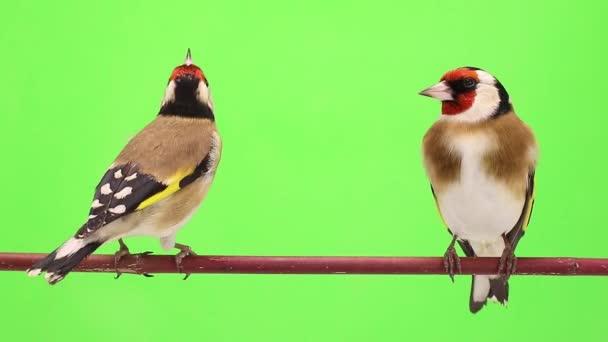 két goldfinch mozog a fa ága