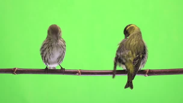 male and female siskin isolated on a green background, studio