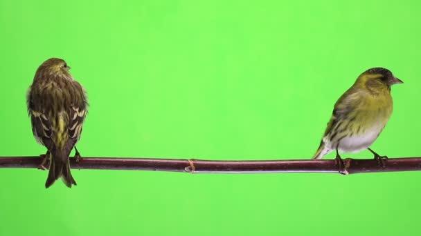 samec a samice siskin izolovaných na zeleném pozadí, studio