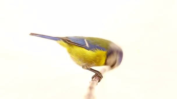 Eurasian Blue Tit (Cyanistes caeruleus) on branch isolated on a white