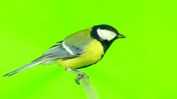 titmouse isolated on a green