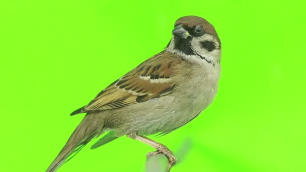 sparrow isolations on a green