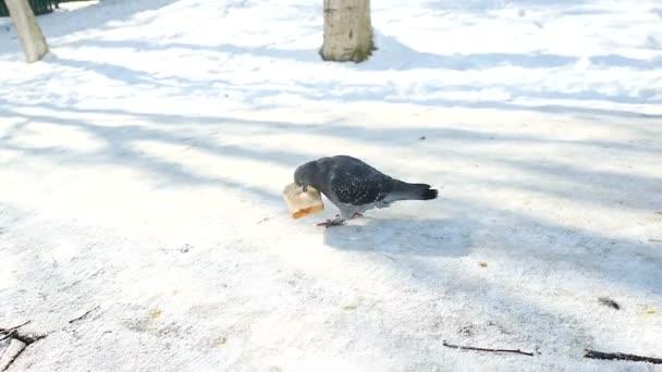 pigeons peck bread