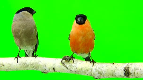 male and female bullfinch on a green