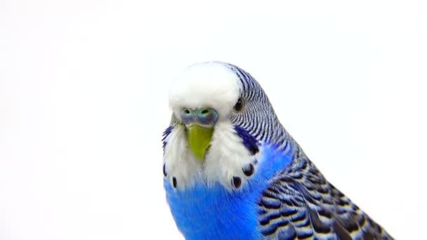 blauer Wellensittich auf weiß