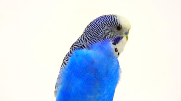 elszigetelt fehér kék törpepapagáj