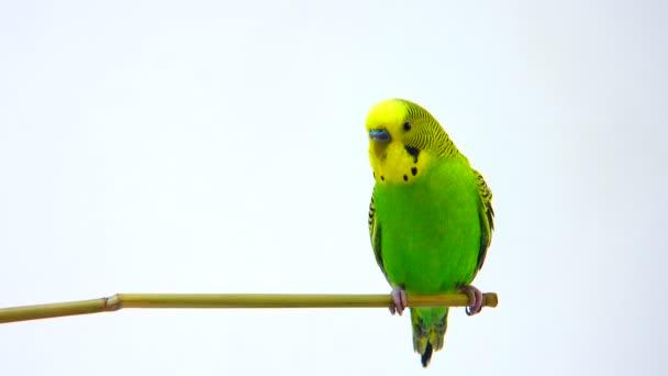 gelb-grüner Wellensittich