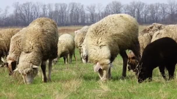 pasoucí se ovce na louce