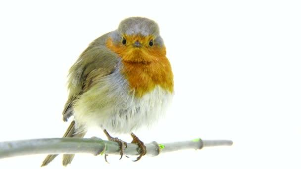 Robin izolovaných na bílém pozadí