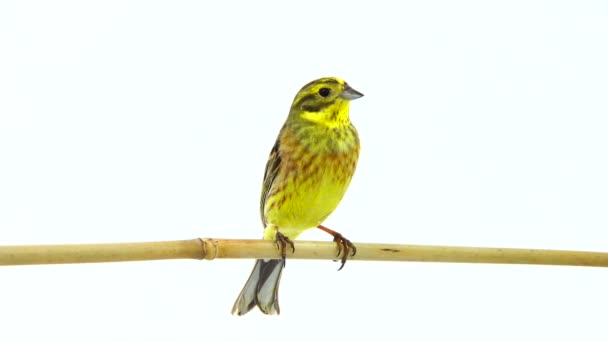 Yellowhammer (Emberiza citrinella) isolated on a white background