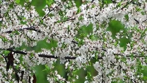 sníh na Kvetoucí třešeň