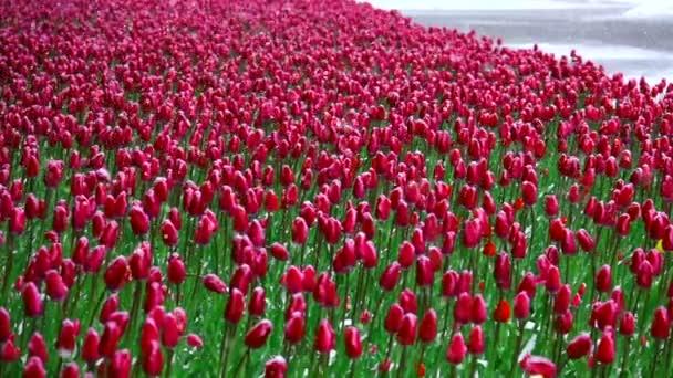 slowmotion sníh padá na Tulipán