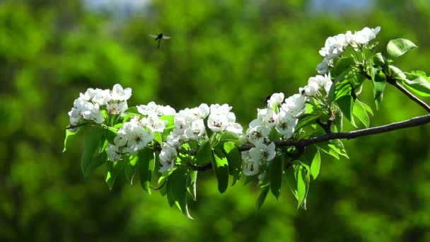slowmotion strom květiny hruška