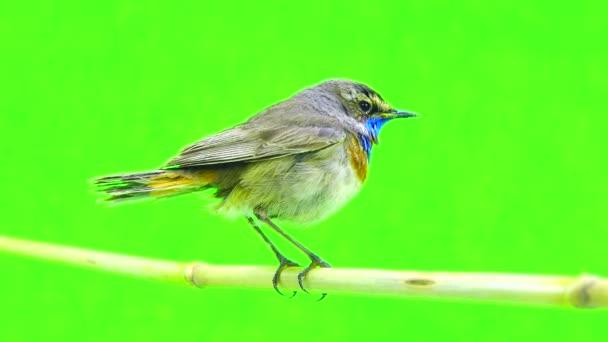 Slavík modráček (Luscinia svecica)