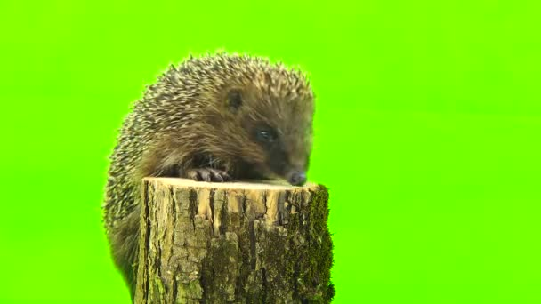 hedgehog isolated on the green screen