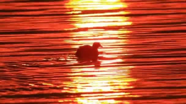 a folyó sunrise kacsák