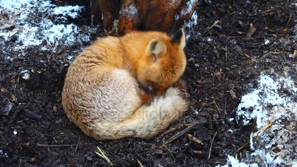 fox in the wood in the winter under a tree