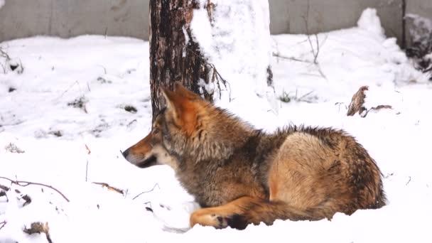 Šedý vlk (canis lupus) v lese v zimě