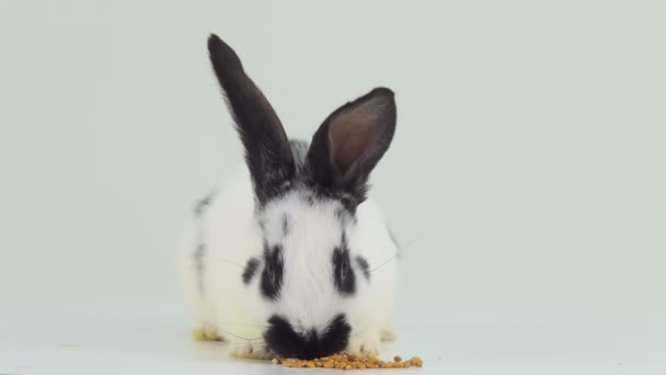 white rabbit on white screen eating wheat grain